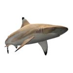 Blacktip Reef Shark (Aurora Designs)