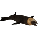Australian Sea Lion (Tamara Henson)