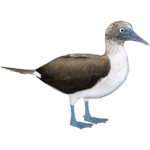 Blue Footed Booby (Whalebite)