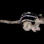 Barbary Zebra Mouse (Dedennedillo)