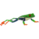 Red-eyed Tree Frog (ZTABC Team)