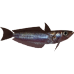 Antarctic Silverfish (Whalebite)