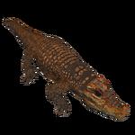Abanda Cave Crocodile (Acinonyx Jubatus)