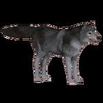 Eurasian Wolf (slice)