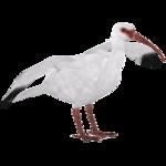 American White Ibis (Bunteriro)