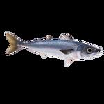 Blue Mackerel (Dycki1231)