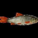 Common Rudd (Ulquiorra)/Version 1