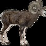 Bighorn Sheep (ZTABC Team)