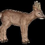 European Roe Deer (ZTABC Team)