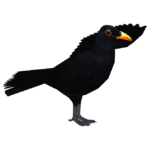 Common Blackbird (Thom)