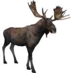 Eastern Moose (Aurora Designs)