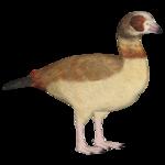 Egyptian Goose (Dacentru & Maks)