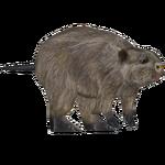 Common Muskrat (Tamara Henson)