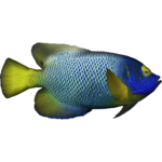 Blueface Angelfish (Dycki1231)