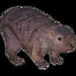 Common Wombat (Tamara Henson)