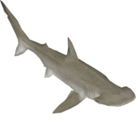 Bonnethead Shark (Zeta-Designs)