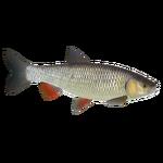 European Chub (PaJaS30)