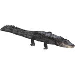 American Alligator (Eryel & JimmyzHoopz)