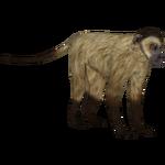 Black-striped Capuchin (Tamara Henson)