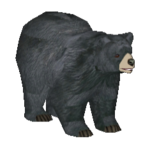 American Black Bear (Makaio)