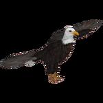 Bald Eagle (Maks)