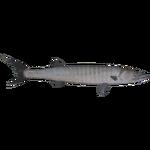 Barracuda (Dycki1231)