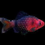 Black Ruby Barb (PaJaS30)
