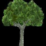Black Locust Tree (Tigress)