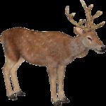 Barbary Deer (Tamara Henson)