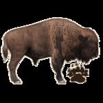 American Bison (JimmyzHoopz)