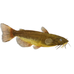 Black Bullhead Catfish (Crookedjaw)