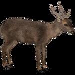 Bawean Deer (Jannick)