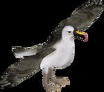 Atlantic Yellow-nosed Albatross (Zerosvalmont)