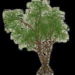 Hala Tree (slice)