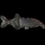 Elephantnose Fish (Thom)