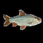 Common Roach (PaJaS30)
