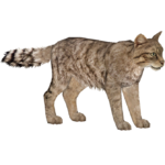 European Wildcat (HENDRIX)