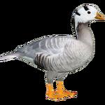 Bar-headed Goose (Ulquiorra)