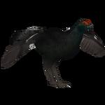 Black Grouse (HENDRIX)