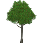 Cherry Tree (Worldwide Designers United)
