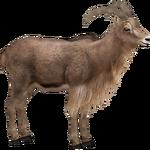 Barbary Sheep (ZTABC Team)