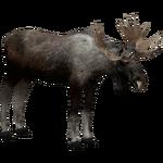 Eurasian Elk (Ulquiorra)