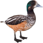 Chiloé Wigeon (Zoo Tycooner FR)