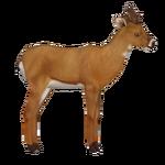 European Roe Deer (Holden)