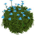 Alpine Forget-me-not (Whalebite)