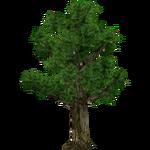 Sapodilla Tree (Realy)