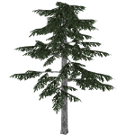 Black Pine (Ulquiorra)