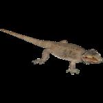 Central Bearded Dragon (Ulquiorra & Zerosvalmont)