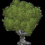 Sycamore Maple (Ulquiorra)