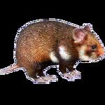 European Hamster (HENDRIX)